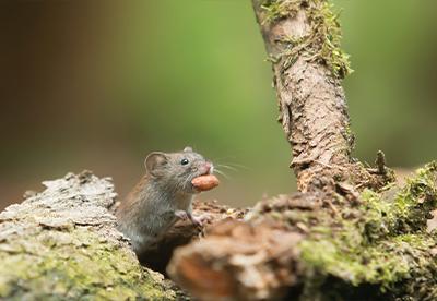 mice, mouse, pest