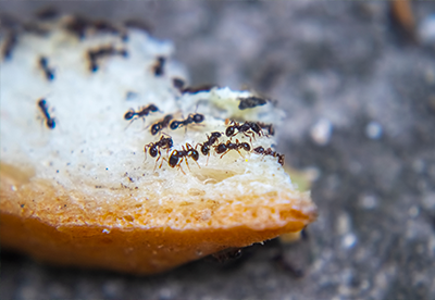 ants, pests, infested