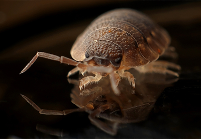 bed bug, pest, bed bugs, bedbugs