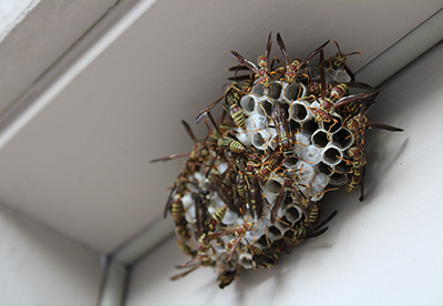 wasps, wasp nest, pests, infestation